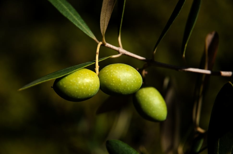 olivaolaj a pikkelysmr kezelsben